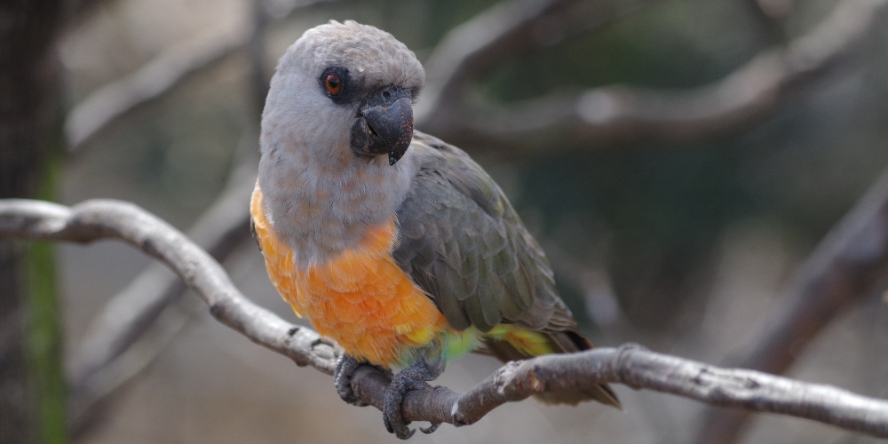 Red Bellied Parrot At Zoo