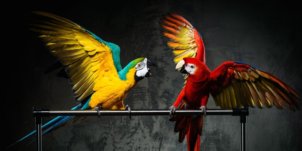 Two Large Parrots Fighting
