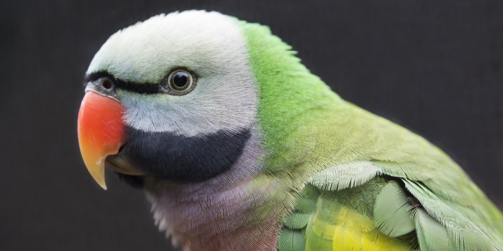 Western Moustached Parakeet
