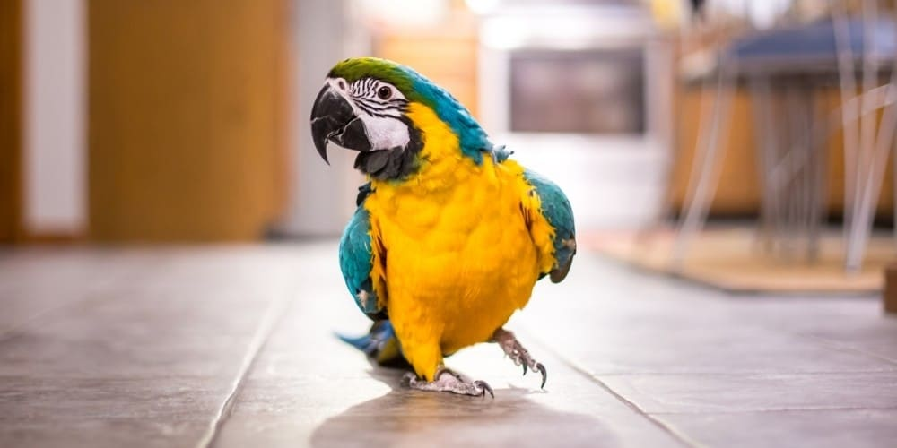 A blue-and-yellow macaw parrot walking across a kitchen floor.