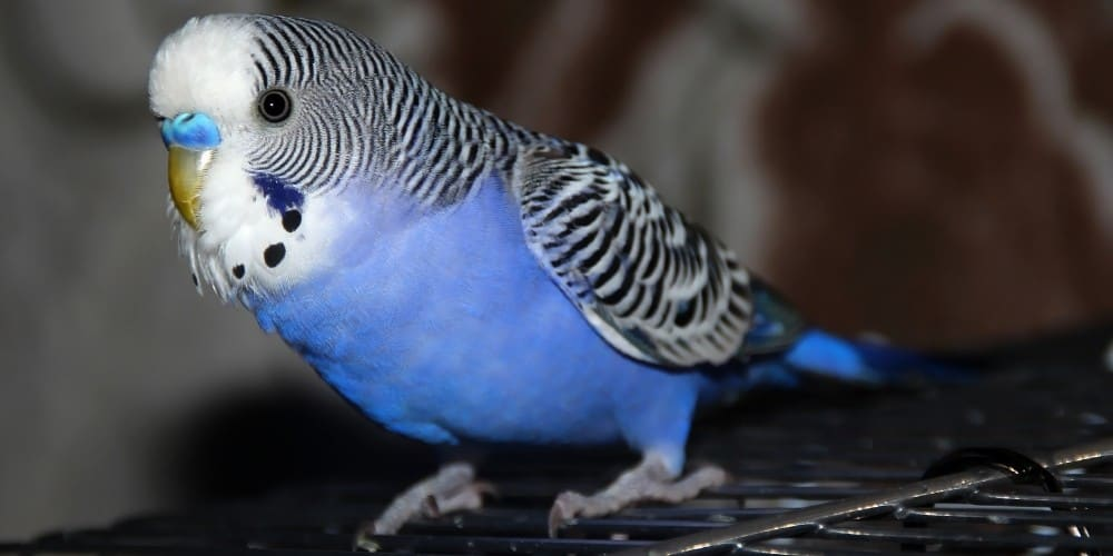 A dark blue parakeet perched on top of his black cage.