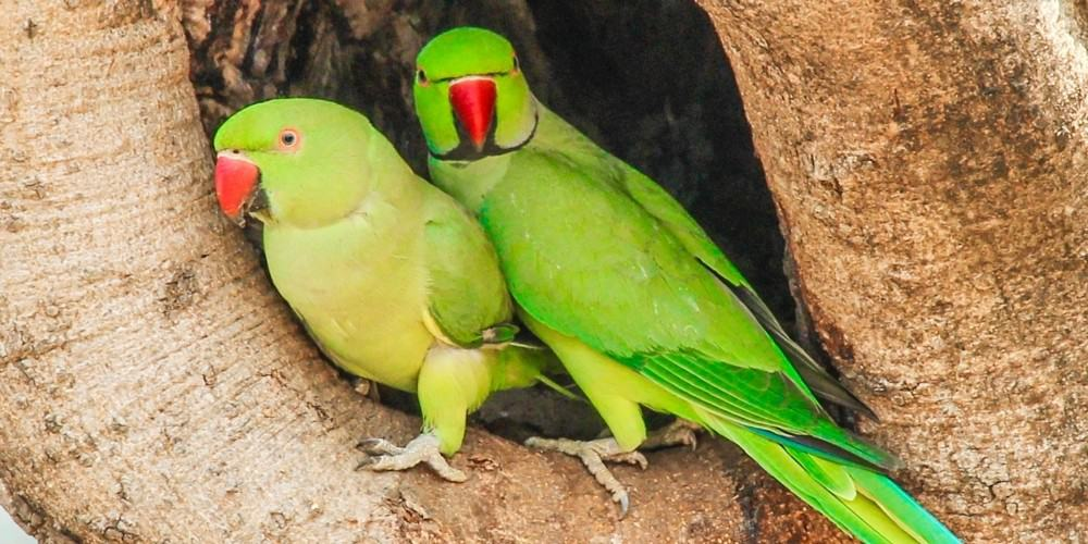A male and a female Indian ring-necked parakeet perched in the crevice of a tree.