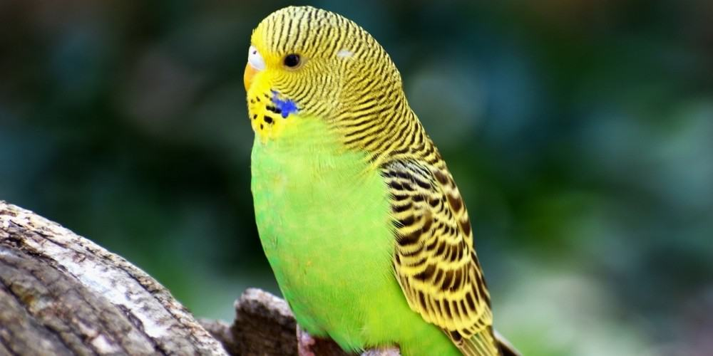 A small green-and-yellow parakeet perched on a piece of peeling tree bark.