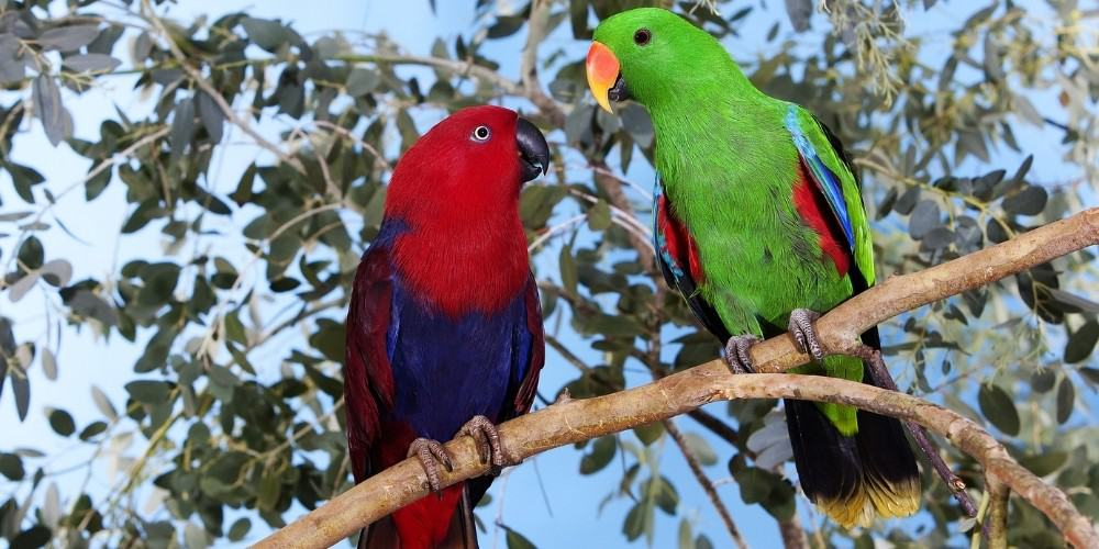 A brightly colored pair of eclectus parrots perched high in a tree.