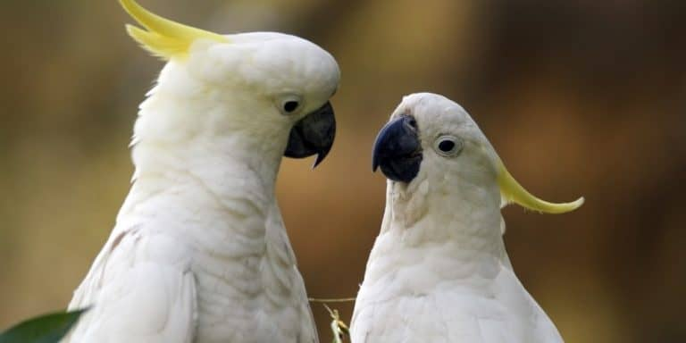 A pair of sulphur-crested cockatoos staring at one another with inquisitive looks.