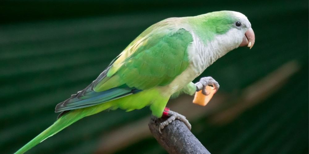 A quaker, or monk, parakeet holding a small piece of apple with his foot while perched on a branch.