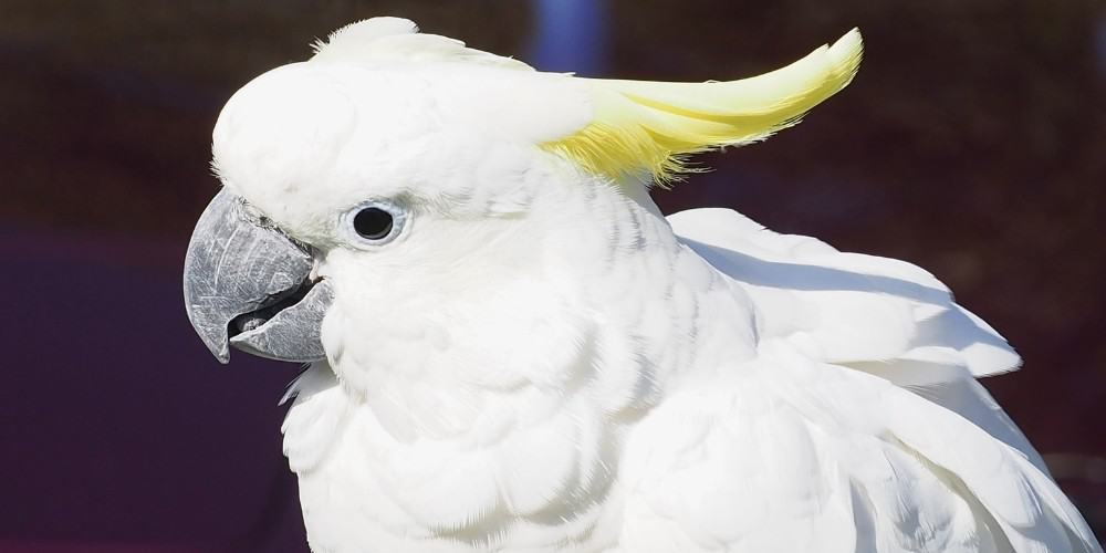 A close-up shot of a sulphur-crested cockatoo.