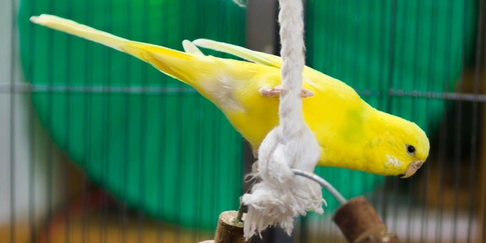 A yellow parakeet clinging to a white rope in her cage.