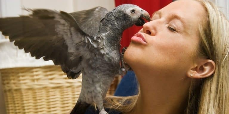 An African grey parrot with outstretched wings giving a lady a kiss.