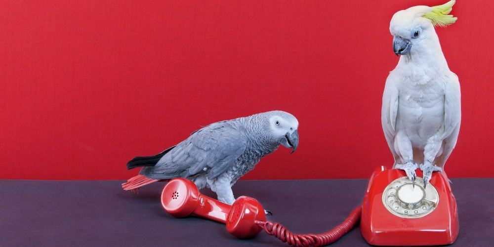An African grey parrot and a cockatiel playing with a red telephone set against a bright red background.