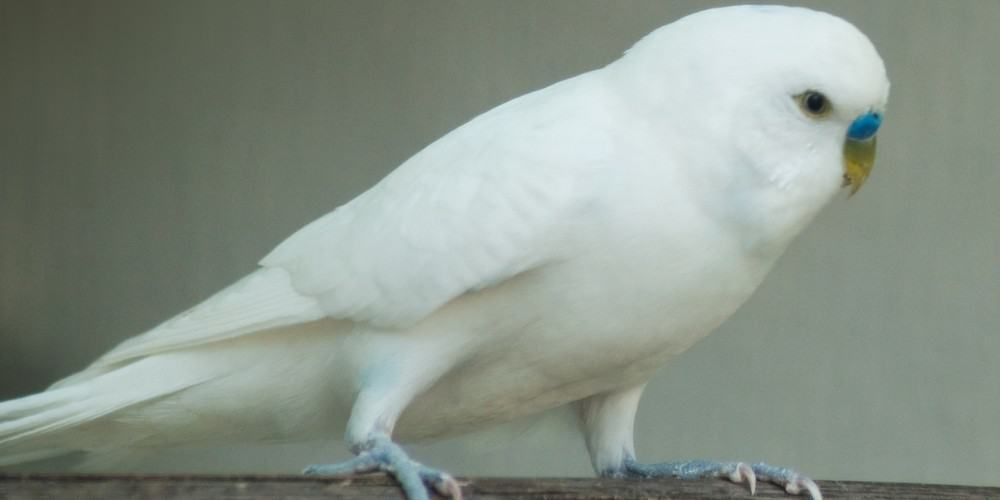 A pure white male parakeet perched on a wood perch.