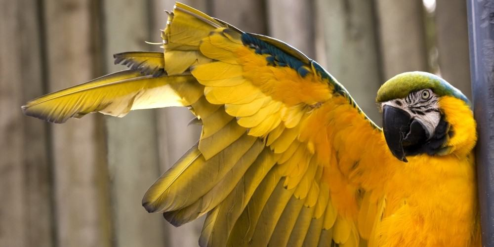 Blue and Gold Macaw Stretching Its Wings