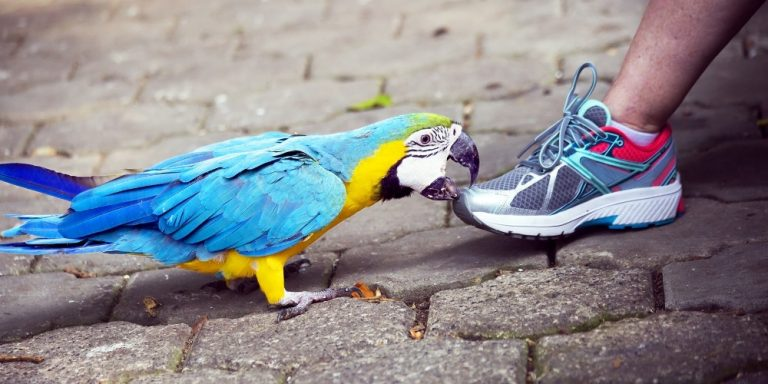Blue and Yellow Macaw Parrot Biting Shoe