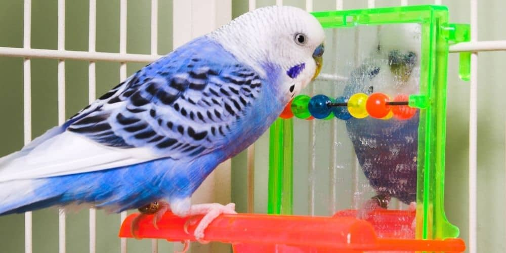 A blue-and-white parakeet perched in front of a toy mirror staring at his reflection.