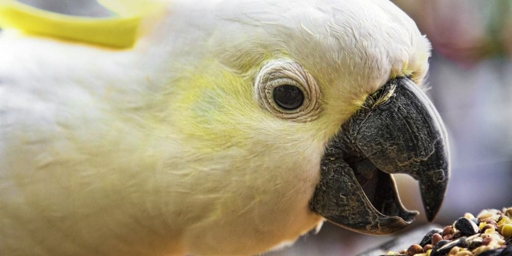 A close-up shot of a yellow-crested cockatoo reaching for a pile of assorted seeds and nuts.
