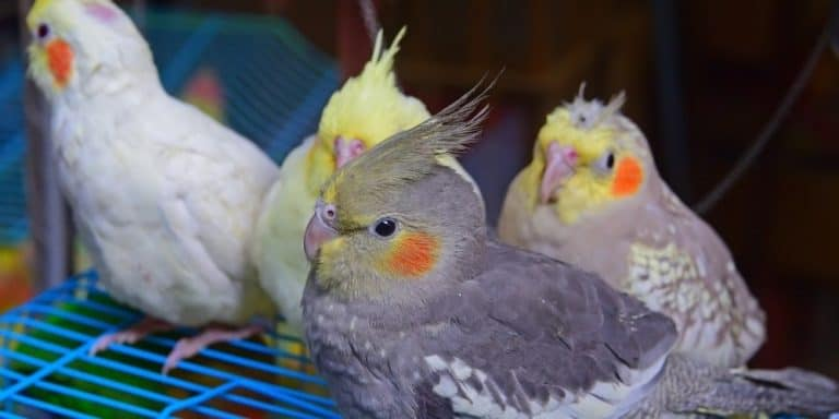 A group of four young cockatiels with bright cheek patches sitting on top of a blue cage.