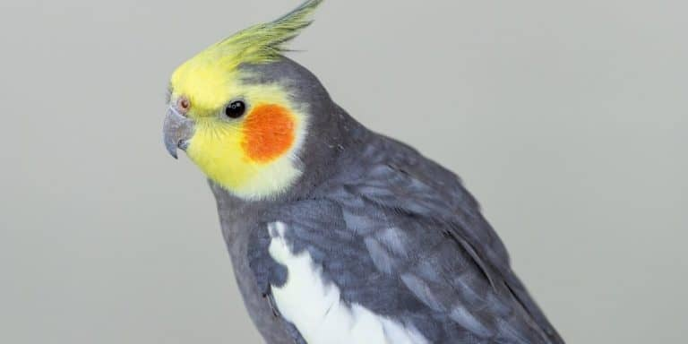 A male gray cockatiel on a light gray background.