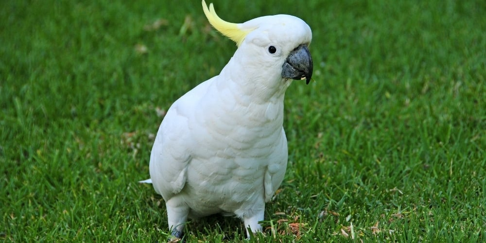 A sulphur-crested cockatoo out for a stroll across a lush, green lawn.