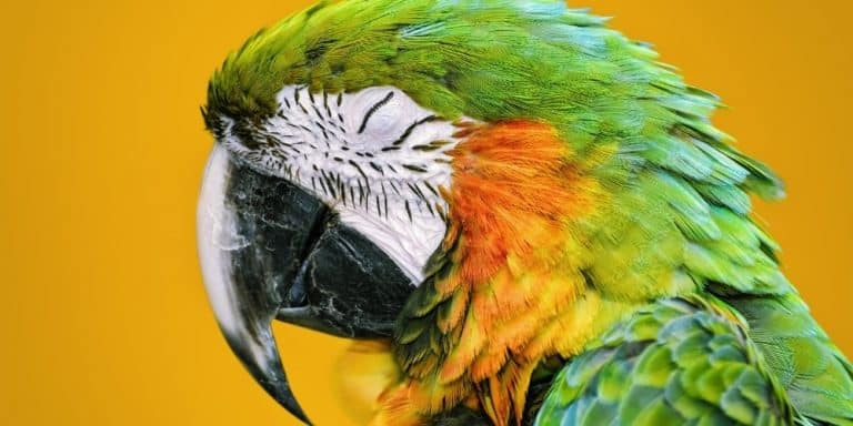 A head shot of a green and yellow macaw parrot asleep against a dark yellow background.