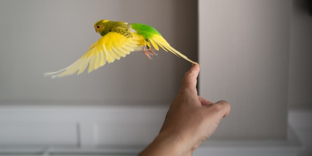 A pretty green-and-yellow parakeet taking off in flight from a man's finger.