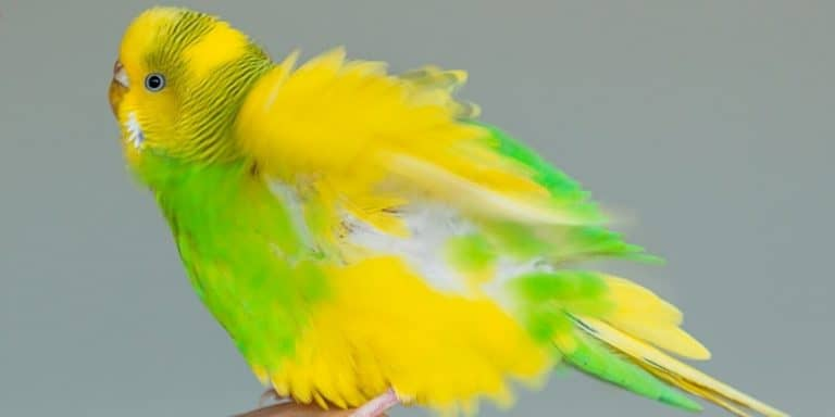 A cute green-and-yellow parakeet with her feathers all puffed up.
