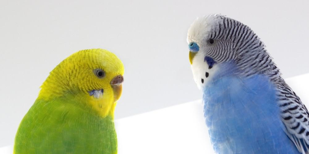 A green-and-yellow female parakeet on the left and a blue-and-white male on the right.