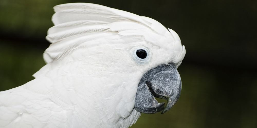A headshot of an umbrella cockatoo with a green, blurry background.