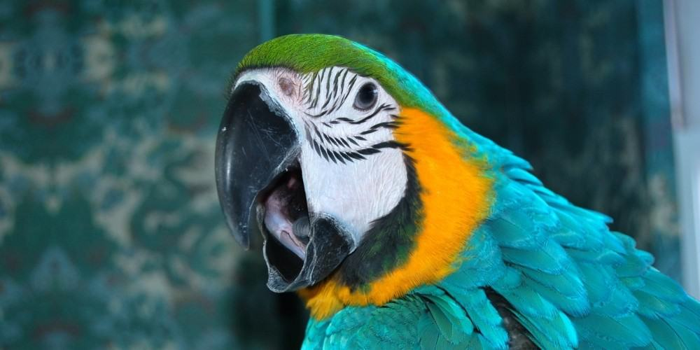 A blue-and-gold macaw letting out a screech in an indoor setting.