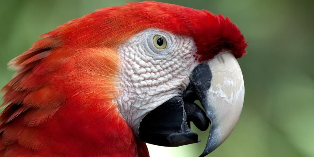 The head of a scarlet macaw with his mouth slightly open to reveal the tongue.