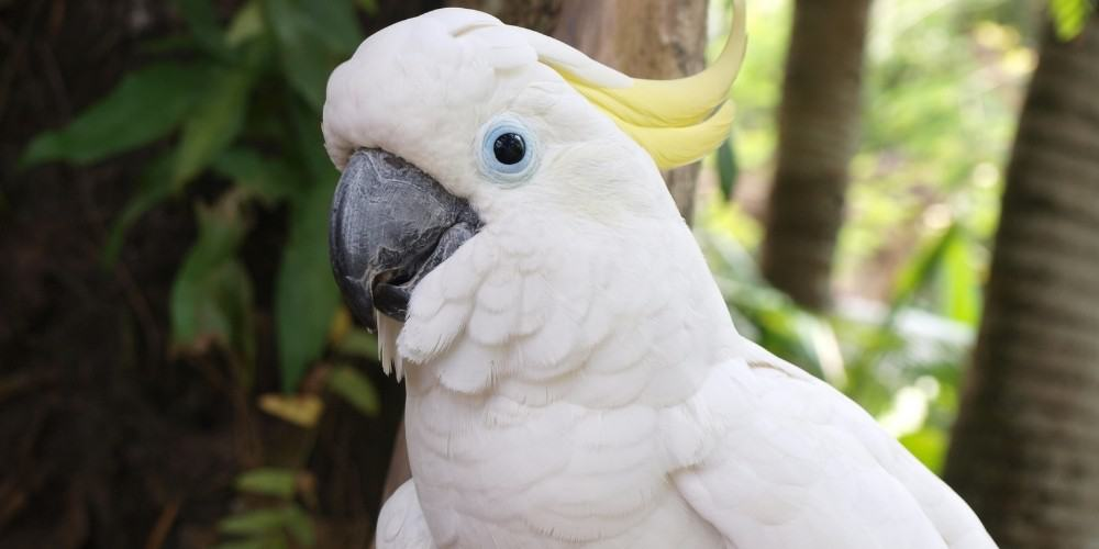 A headshot of an adult sulphur-crested cockatoo against a background of trees and foliage.