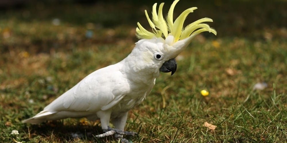 A lesser sulphur-crested cockatoo walking on a patch of sparse grass.