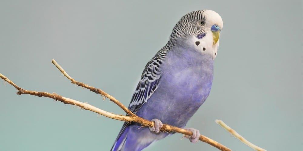 A male purple parakeet sitting on a slender branch.
