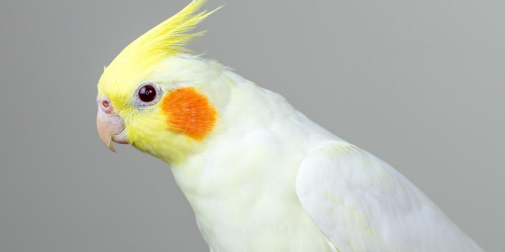 A lutino cockatiel against a light gray background.