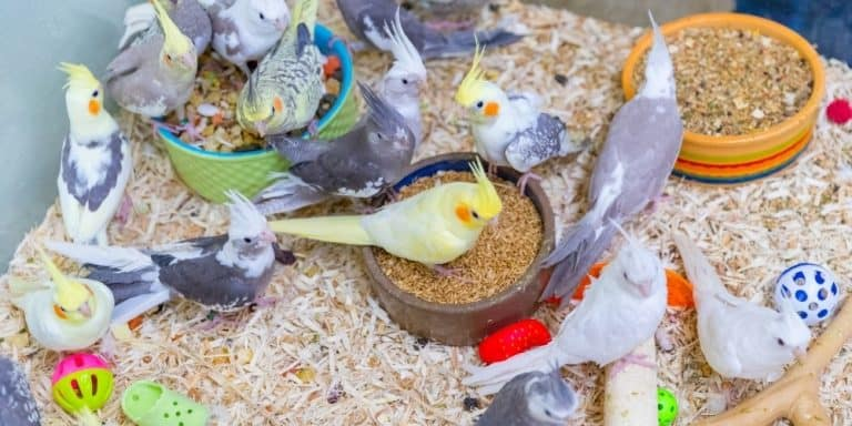 A variety of differently colored cockatiels on the bottom of a cage surrounded by bowls of food and toys.