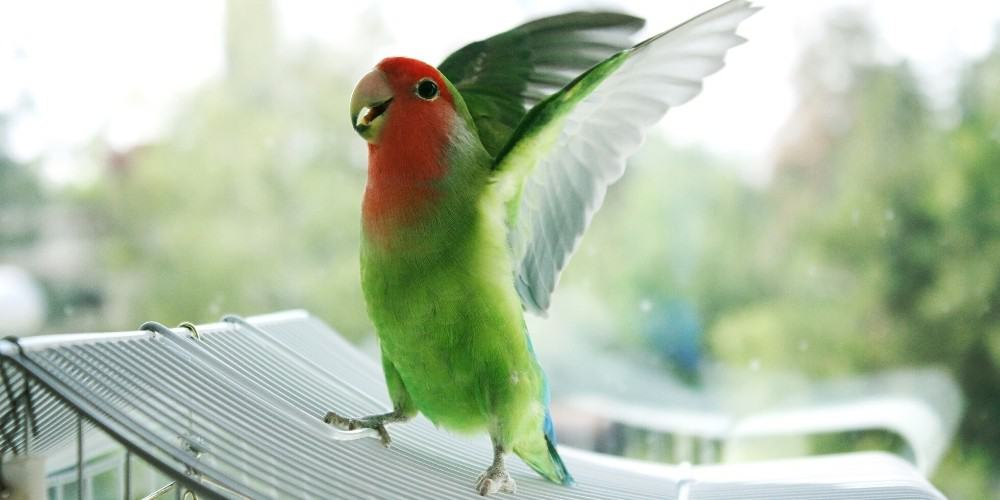 A peach-faced lovebird dancing with outstretched wings on top of its cage.