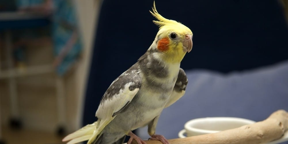 A pied cockatiel with wings slightly open sitting on the edge of a wood perch.