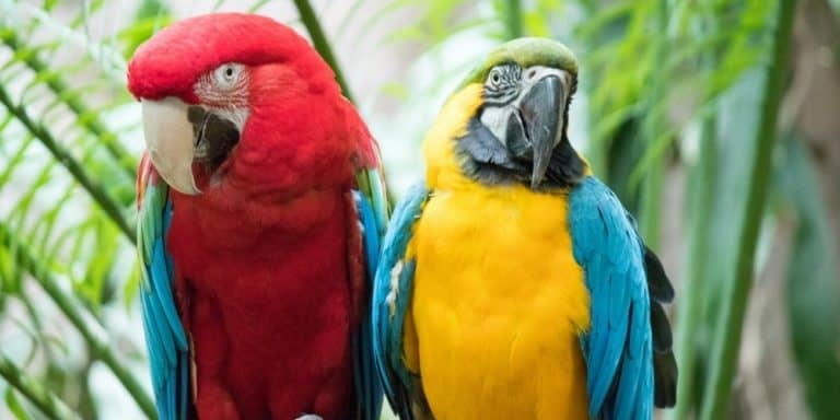 A scarlet macaw sitting beside a blue-and-gold macaw outdoors.