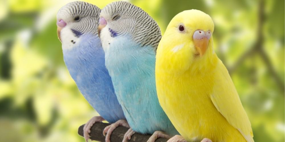 A yellow, blue, and aqua parakeet perching on a branch outside.