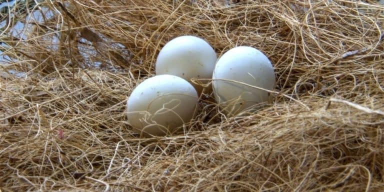 A parakeet nest made of thin fibers with three small eggs inside.