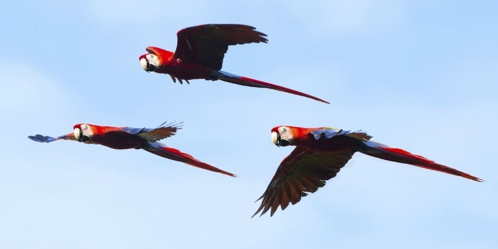 A group of three wild scarlet macaws soaring through the air.