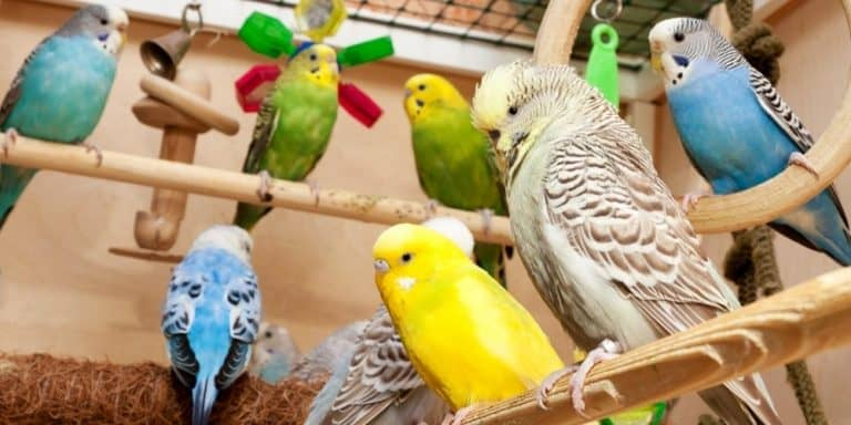 A variety of colorful parakeets inside a cage with several hanging toys.
