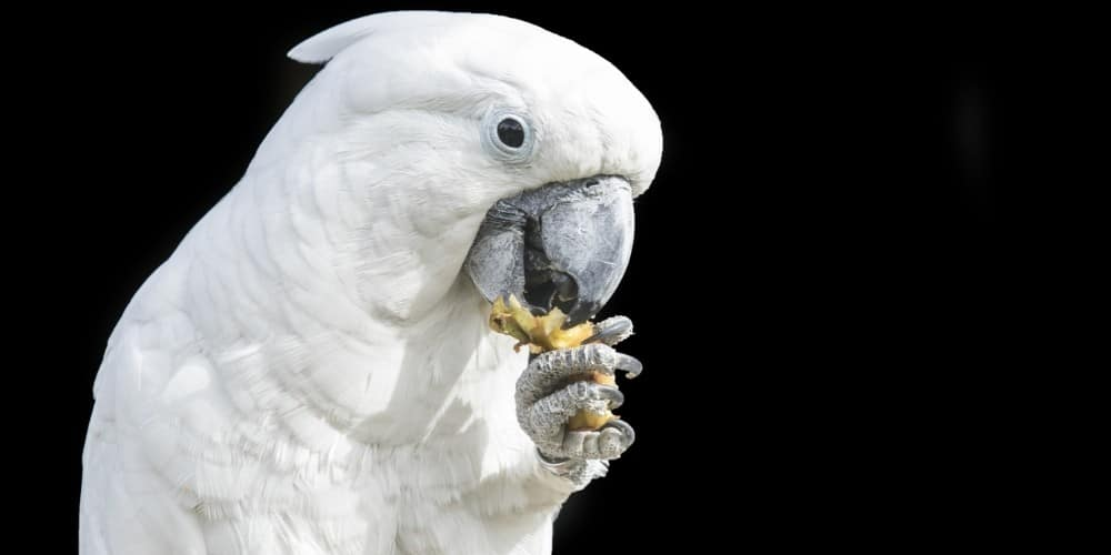 A white cockatoo holding and eating food with his foot against a deep black background.