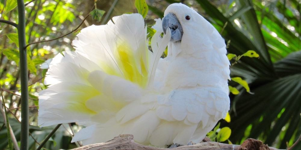 A white cockatoo in the wild preening its tail feathers while sitting in a tree.