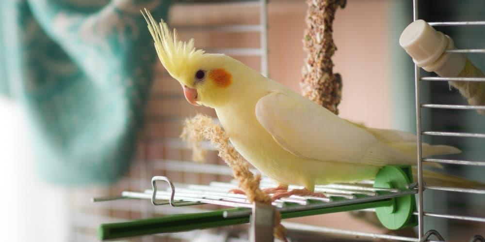 Yellow Cockatiel In Cage