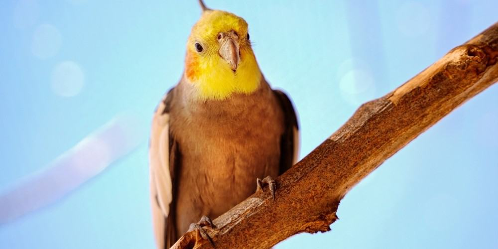 A yellow-face cockatiel sitting on a wood perch with a light blue background.