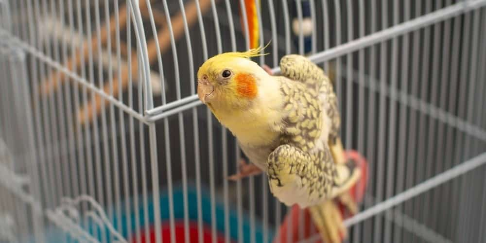 A young yellow and gray cockatiel hanging on to the outside of a white cage.