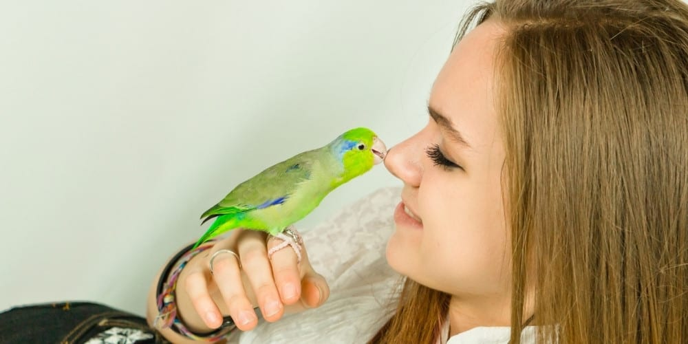 A green parrotlet lightly kissing her young owner on the nose.