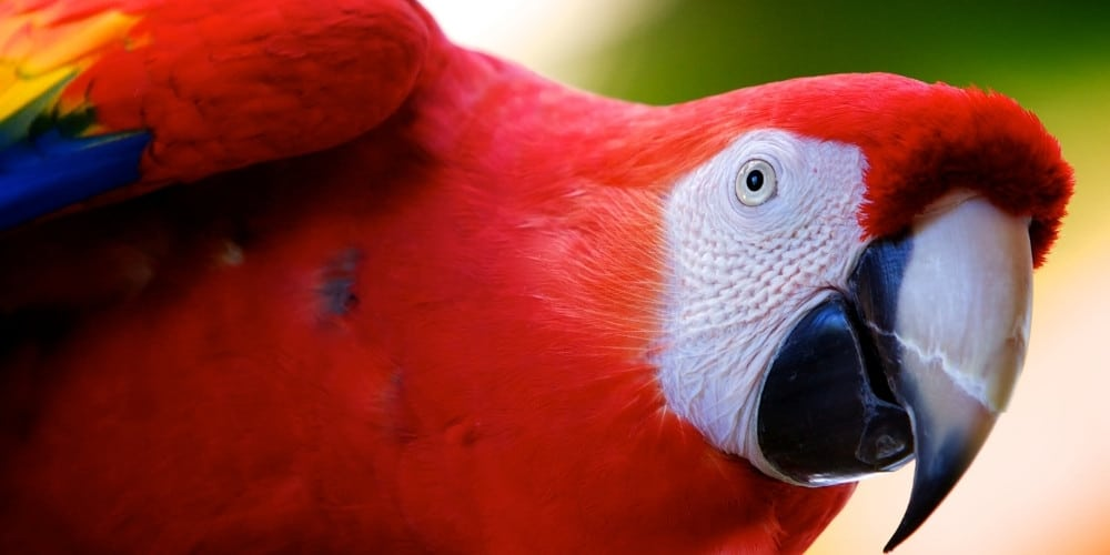 A scarlet macaw leaning forward to peer intently at the camera.