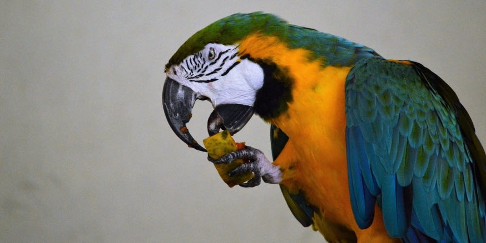 A blue-and-gold macaw with eyes halfway shut eating a piece of papaya.