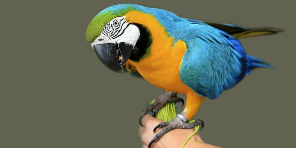 A blue-and-gold macaw perched on a trainer's hand.